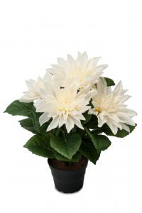 Mr Plant Dahlia - Vit - 30 cm