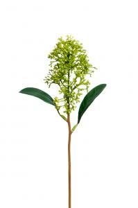 Mr Plant Skimmia - Grön - 30 cm