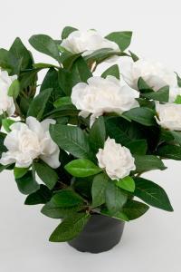 Gardenia - Vit - 25 cm - www.frokenfraken.se
