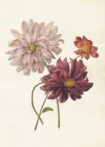 Poster - Vintage - Dahlia - 50 x 70 cm - www.frokenfraken.se