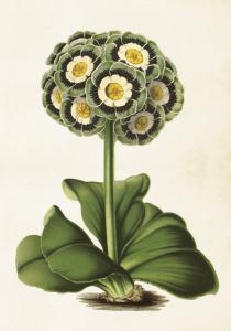 Poster - Vintage - Primula - 35x50 cm - www.frokenfraken.se