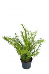 Mr Plant Rosmarin - Grön - 35 cm