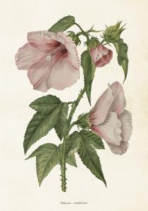Poster - Vintage - Hibiscus - 35x50 cm - www.frokenfraken.se